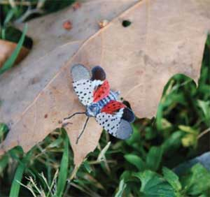 Spotted Lanternfly - Adult with wings spread