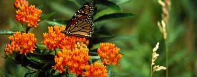 Monarch butterflies, milkweed, butterfly weed